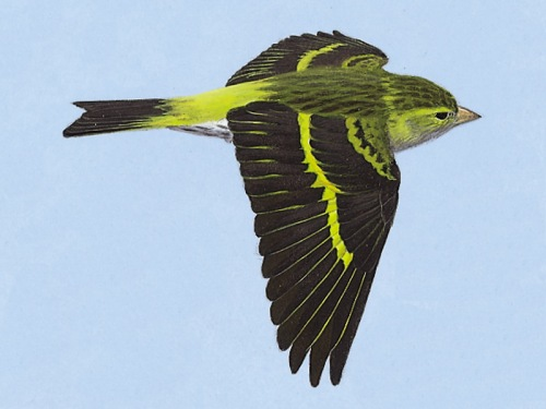 Siskin, a Summer plumaged female