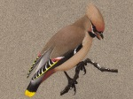 Waxwing, adult Male