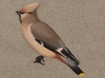 Waxwing, adult Female
